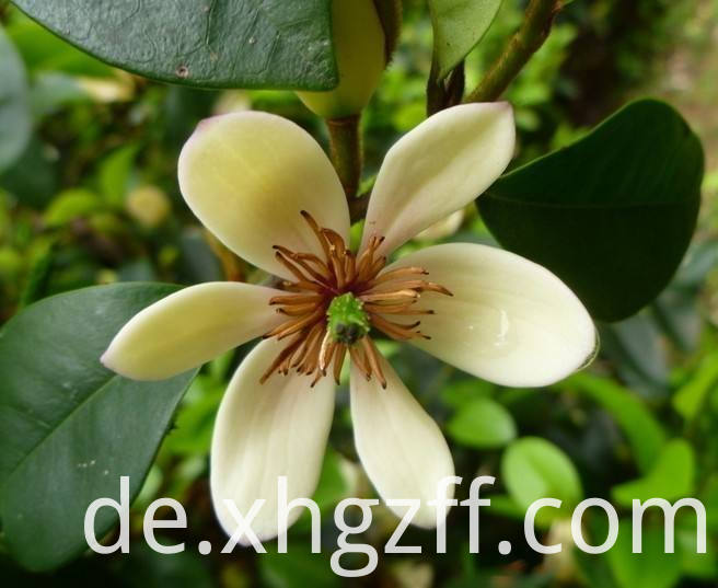 Daily Michelia Flower Essential Oil