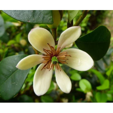 100% Original for Flower Essential Oil,Michelia Flower Essential Oil,Natural Michelia Flower Essential Oil Manufacturers and Suppliers in China Michelia Flower Essential Oil 50ml supply to Spain Manufacturers