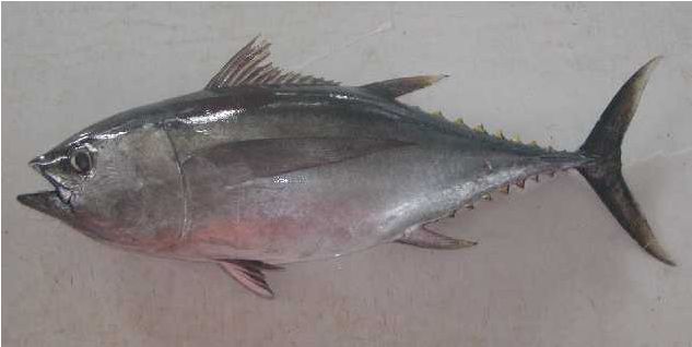 Whole Round Big Eye Tuna