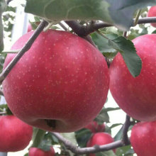 Organic rich selenium sweet and crispy apple