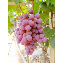 new crop red globe grape