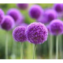 China Manufacturer for for Allium Giganteum Regel Seeds Big Scallions Ball seeds export to Bermuda Supplier