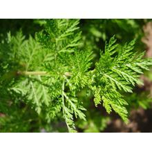 Sweet Wormwood Extract powder Artemisinin 5%-99%