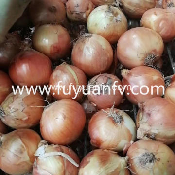 Wholesale New Crop Yellow Onion