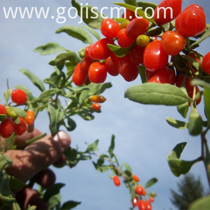 2017 Good Quality Organic Goji Powder