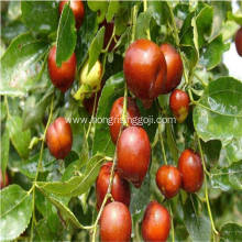 Good for healthy of zhongning Hongzao dates