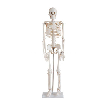 Life-Size Skeleton 85CM Tall