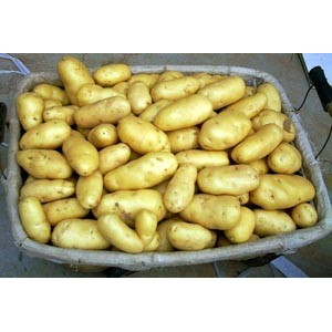 tengzhou fresh holland potato