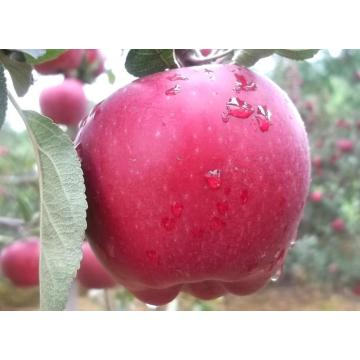 Red Delicious Huaniu Apple with Best Quality