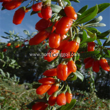 Bio tibetan plateau goji berries natural wolfberry
