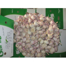 Crop 2019 Normal Garlic