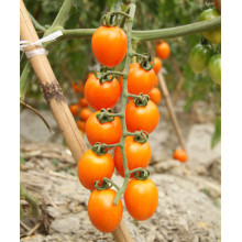 PriceList for for Yellow Round Small Tomato F1 hybrid best cherry yellow tomato seeds supply to Montenegro Manufacturers