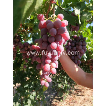 Xinjiang Red grapes start