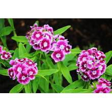 China for China American Dianthus Seeds,Dianthus Seeds,Hybrid Dianthus Seeds,Dianthus Flower Seeds Manufacturer and Supplier American Dianthus Good Sale supply to Tanzania Supplier