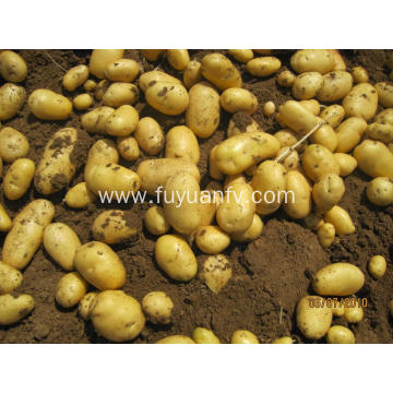 tengzhou high quality potato