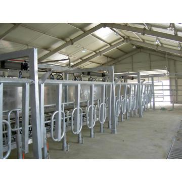 Mid-set milking parlors for cows