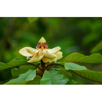High Quality for Michelia Alba Leaf Essential Oil Michelia Leaf Essential Oil 30ml supply to Indonesia Manufacturers