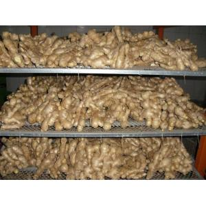 Air Dried ginger Zingiber officinale