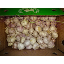New Fresh Garlic Jinxiang
