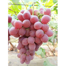 22-26mm red globe grapes