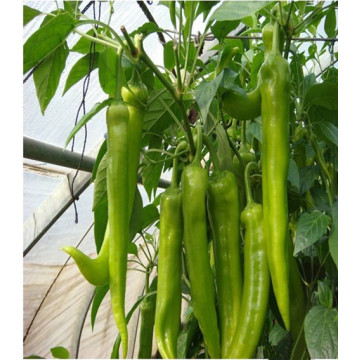 F1 hybrid hot pepper seeds