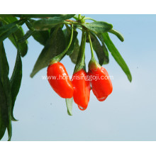 Dried organic wolfberry dry goji with low moisture