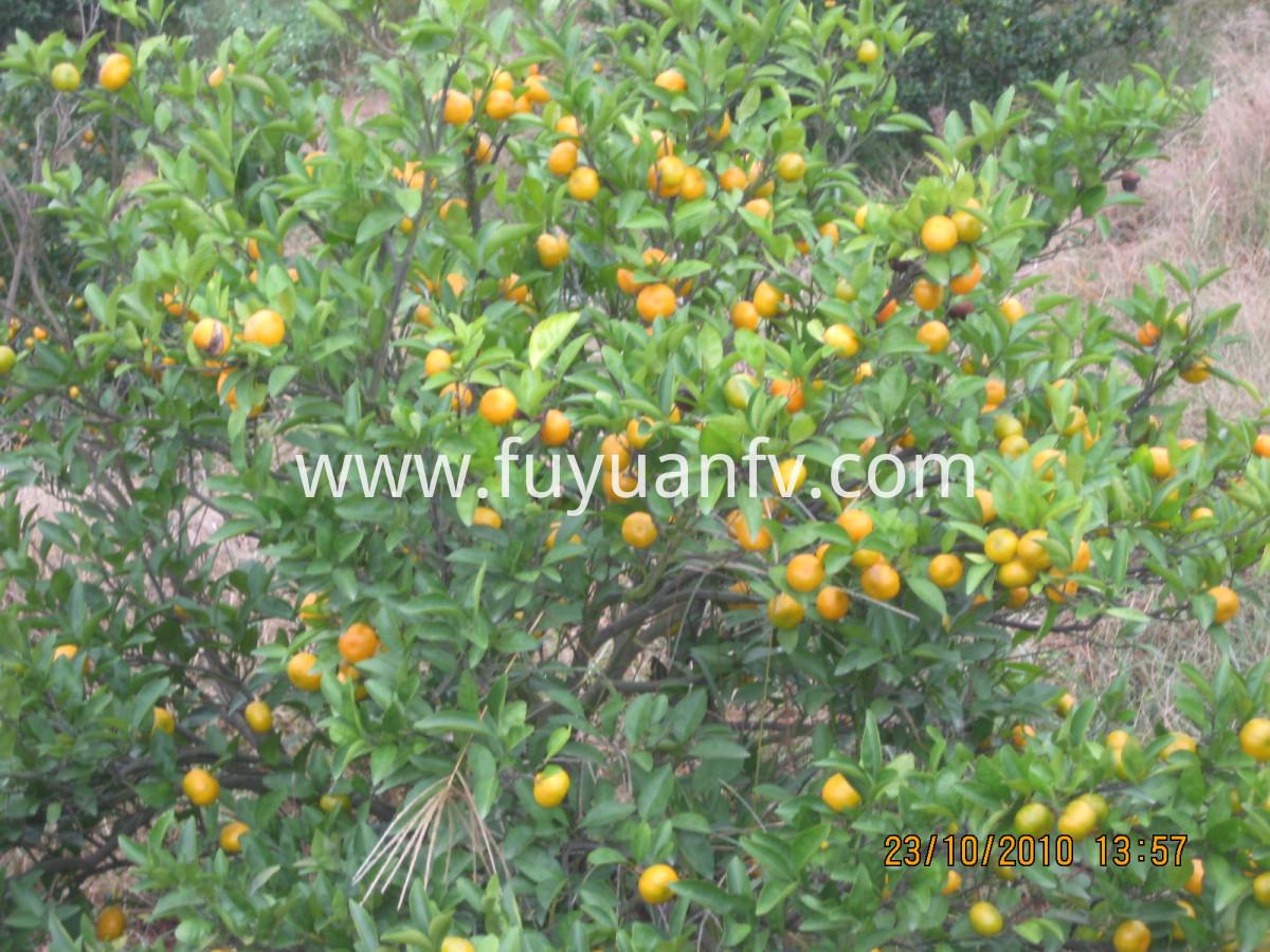 juicy sweet baby mandarin