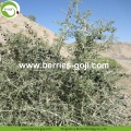 Factory Supply Price Healthy Black Dried Goji
