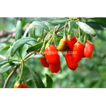 EU Standard beauty goji berry
