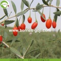 Factory Supply Nutrition Organic Certificated Wolfberries