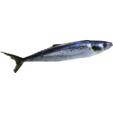Whole Round Frozen Spanish Mackerel