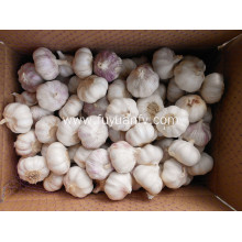 Factory Price for White Fresh Garlic 5.0cm purple skin garlic export to Algeria Exporter