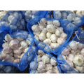 New Crop Regular White Garlic