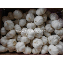 2019 new crop big size garlic