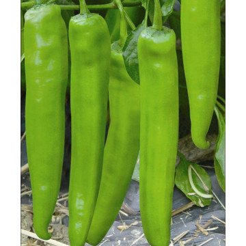 F1 hybrid hot chilli seeds