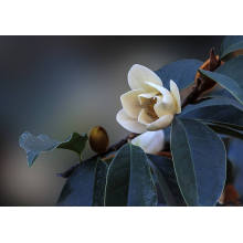 Michelia Flower Essential Oil 30ml