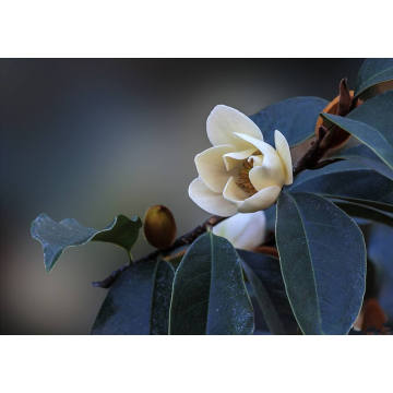 Factory directly sale for Pure Michelia Flower Essential Oil Michelia Flower Essential Oil 30ml supply to Japan Manufacturers