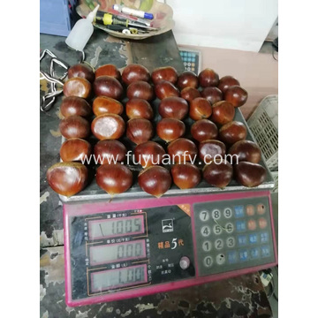 selling good fresh chestnut