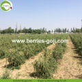 Factory Supply Fruit Nutrition Dried Fruit Goji Berries