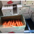 Imported Good Variety Red Carrots