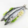 Whole Round Sea Frozen Spanish Mackerel