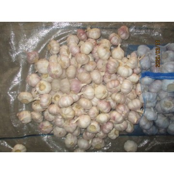 2019 Fresh Garlic Normal