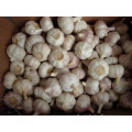 New Crop Garlic 2019