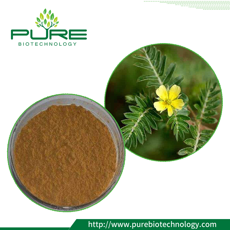 Tribulus Terrestris fruit Powder