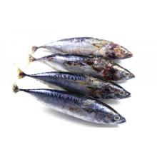 Best Quality for Frozen Main Seafood Product Whole Round Sea Frozen Bonito export to Tonga Importers