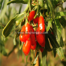 Fresh Himalayan goji berries wild wolfberries