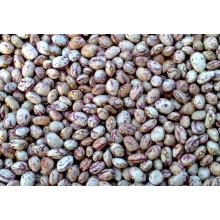 High Quality for China Round Light Speckled Kidney Bean,Round Speckled Kidney Beans,Speckled Kidney Bean,Light Speckled Pinto Beans  Supplier Chinese Round Kidney Beans export to Saint Lucia Supplier