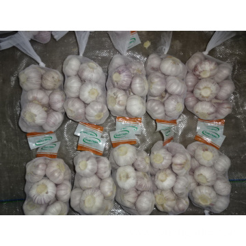 New Season Normal Garlic