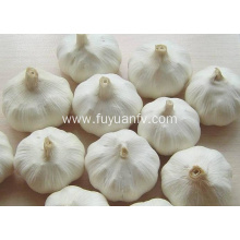 Hot sale for Pure White Fresh Garlic Jinxiang pure white garlic 6.0-6.5cm supply to Israel Exporter