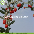 Wholesale Super Food Dried Berry Goji